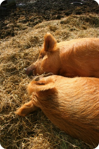 two pigs cuddling in the sun