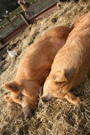 two pigs snoozing in the sun