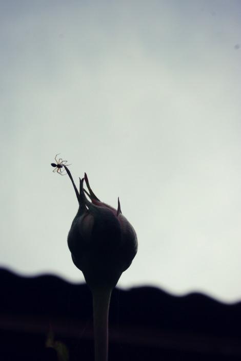 spider on a rosebud