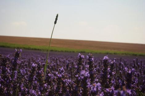 lavender stem in lavender field