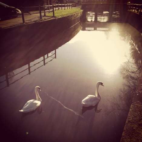 swans swimming in winter