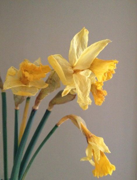 withering daffs
