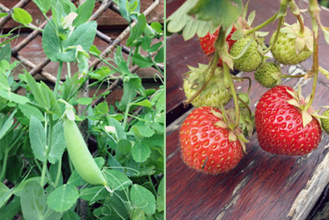 Peas and strawberries in the garden