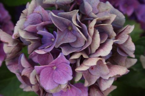 fading hydrangeas | bluebirdsunshine
