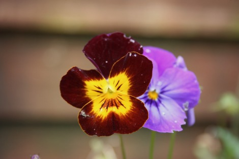 pansies | bluebirdsunshine