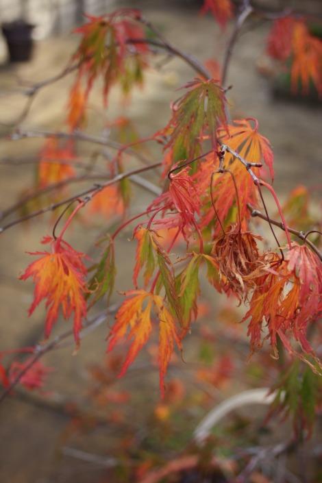 Japanese Maple in Autumn | bluebirdsunshine