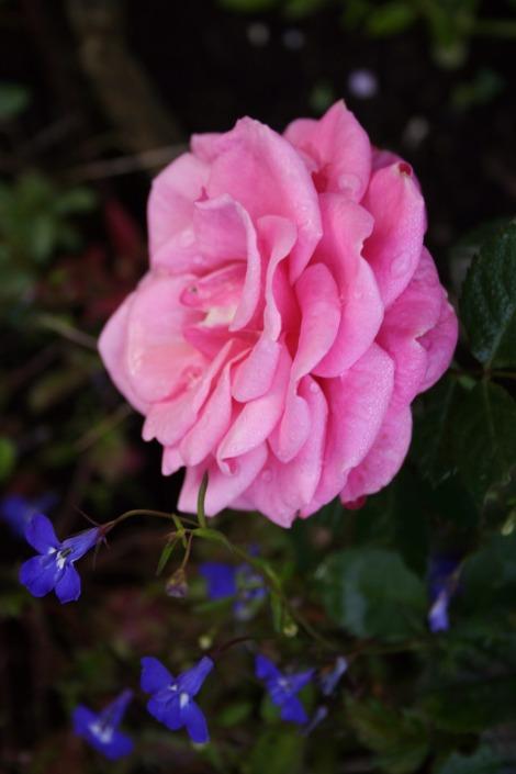 super pink rose | bluebirdsunshine