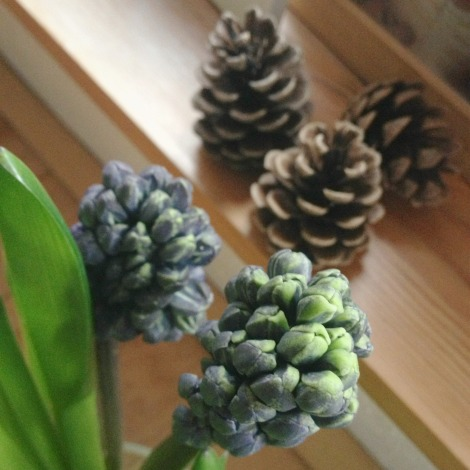 Hyacinths and pine cones | bluebirdsunshine