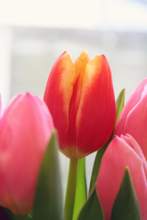 peach tulip | bluebirdsunshine
