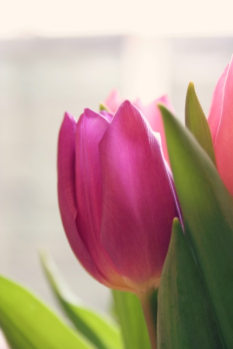 purple tulip | bluebirdsunshine