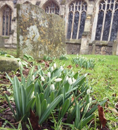 snowdrops in churchyard