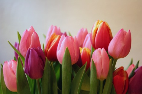 pink purple peach tulips | bluebirdsunshine