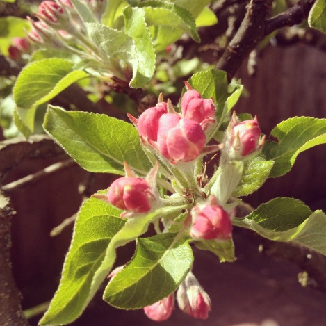 apple blossom | bluebirdsunshine