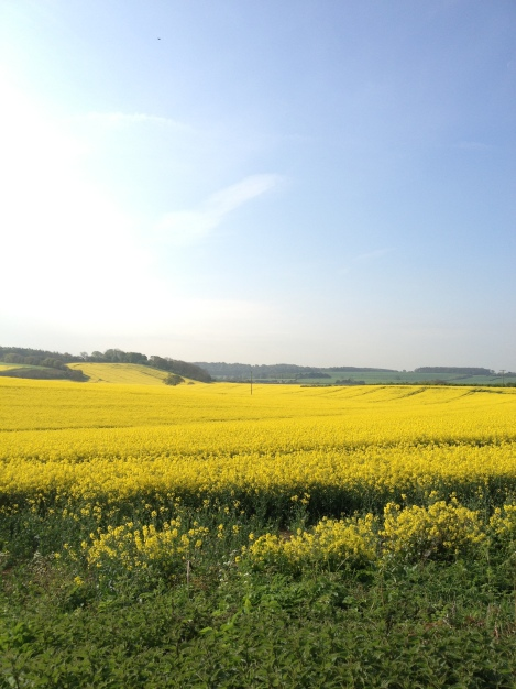 rapeseed fields | bluebirdsunshine