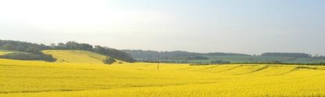 rapeseed fields | bluebirdsunshine