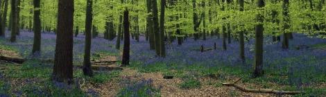 bluebells | bluebirdsunshine