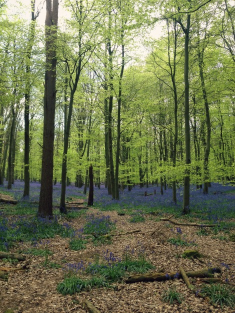 bluebells in woods | bluebirdsunshine