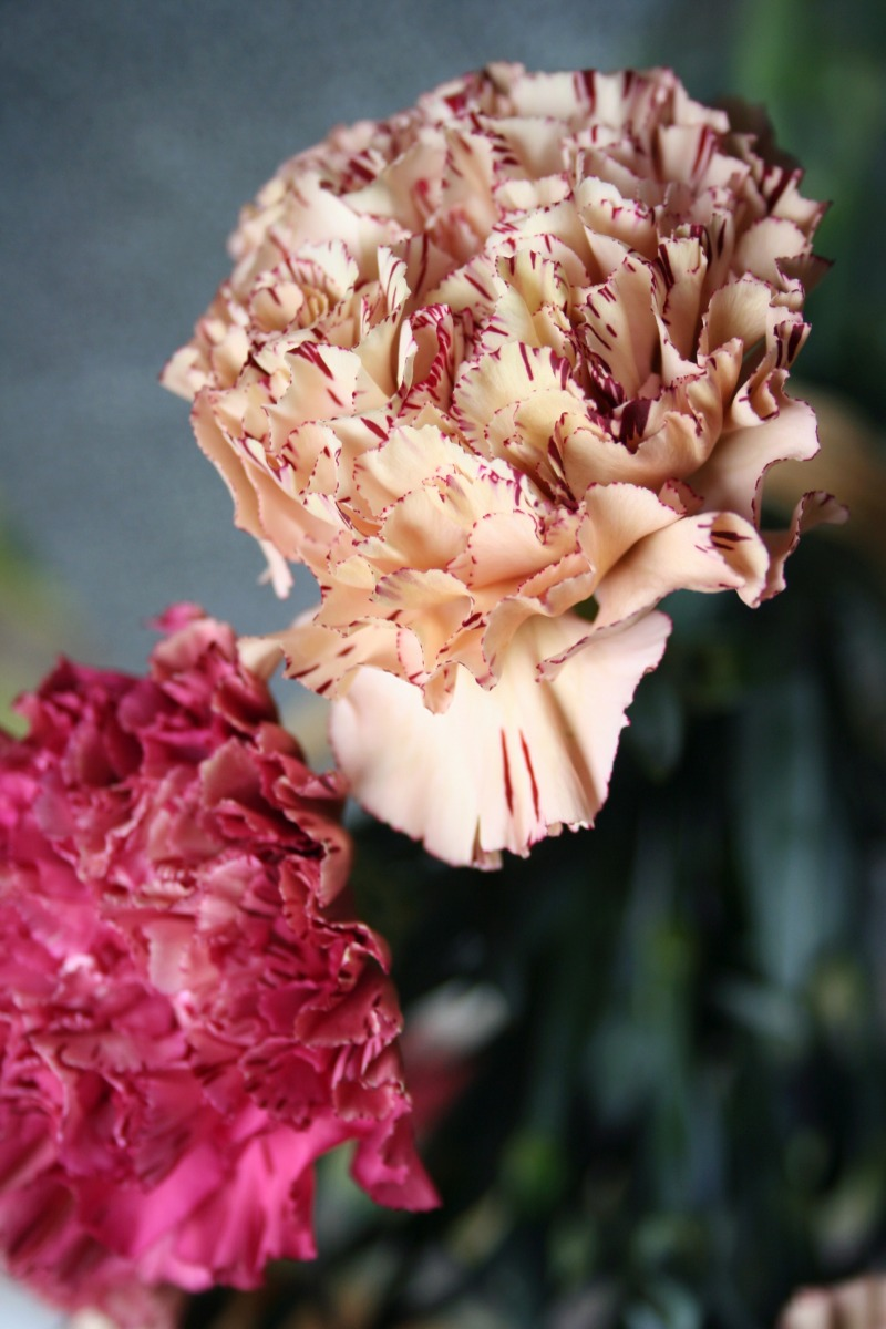 Raspberry Ripple Carnations | bluebirdsunshine