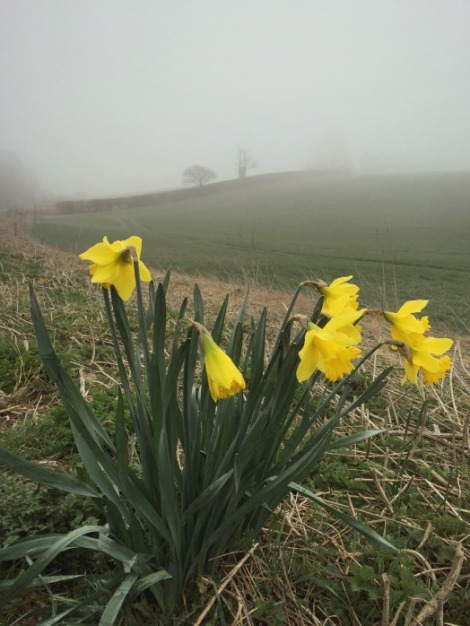 Misty Daffodils | bluebirdsunshine