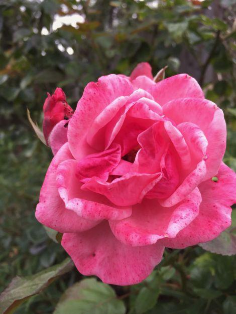 Rosie Rose | bluebirdsunshine
