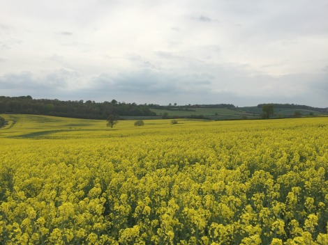 Fields of rapeseed